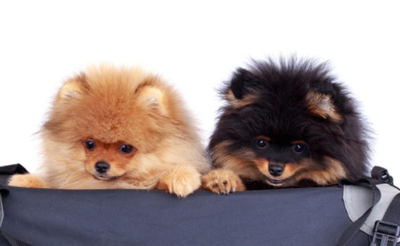 deux petits chien dans un sac de voyage